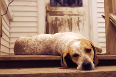 hound dog on porch